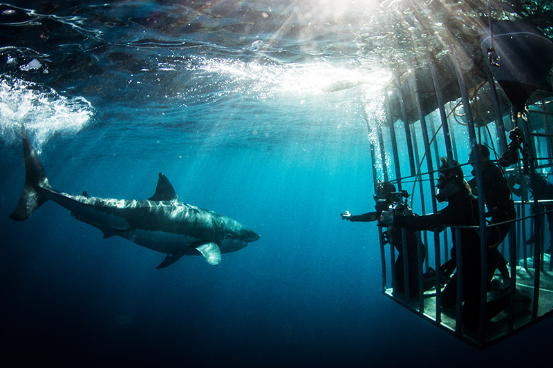 adventure-pads-shark-cage-diving